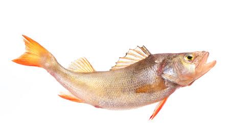 perch: Fish perch Stock Photo
