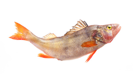 silver perch: Fish perch Stock Photo