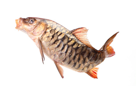 mirror: Mirror fish carp
