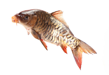 Mirror fish carp photo