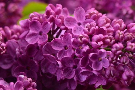lilac: Flower lilac Stock Photo