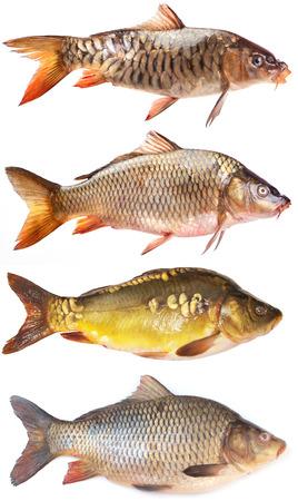 魚を鯉します。