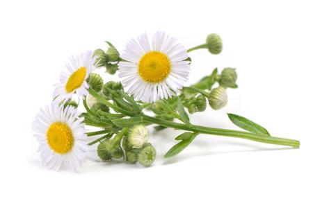 Flower camomile