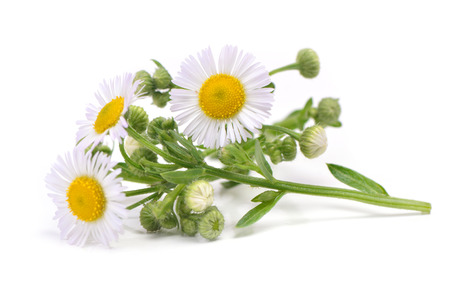 Flower camomile