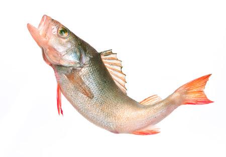 perch: fish perch