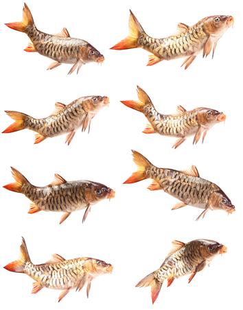 fish isolated: Mirror fish carp