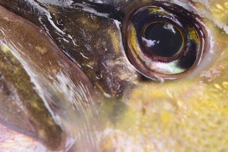 pike: fish pike