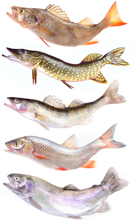 sheatfish: River predators