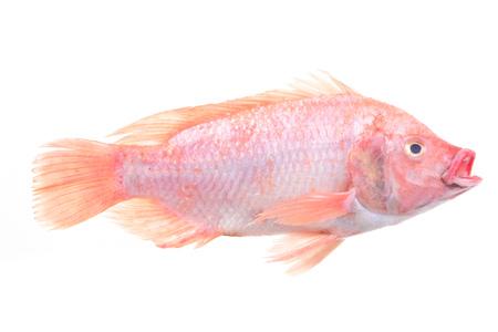 Fish red tilapia
