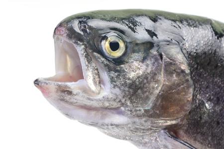 salmo: Fish trout