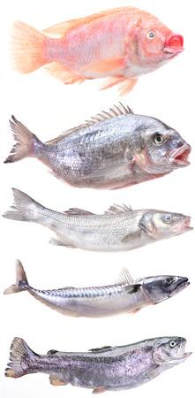 salmonidae: fish