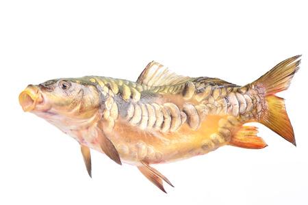mirror carp: Fish mirror carp