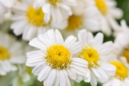 camomile: Flower camomile