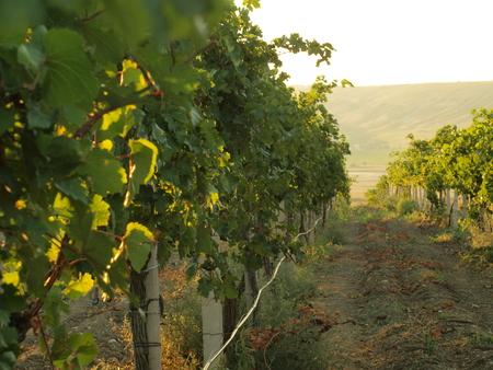 burgundy colour: vineyards Stock Photo