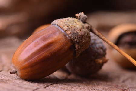 Closeup of an acorns on a wooden table