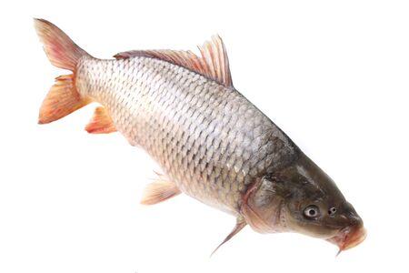 Poisson carpe sur fond blanc