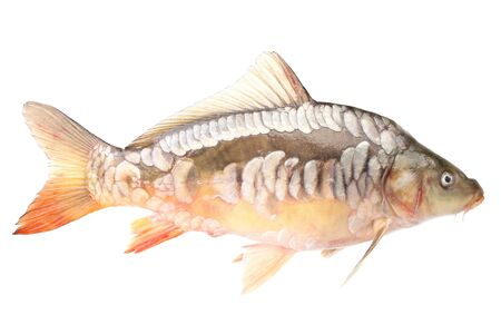 Carp fish on a white background