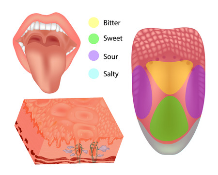 Anatomia części ludzkiego języka. Ilustracja przedstawiająca anatomię smaku. Język z czterema obszarami.