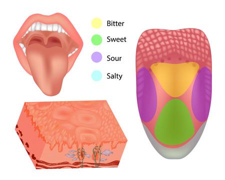 Parti di lingua umana di anatomia. Illustrazione raffigurante l'anatomia del gusto. Lingua con le sue quattro aree.