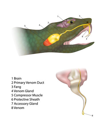 Anatomy snake fangs and venom. Biting snake. Morphology of a Venomous Snake.
