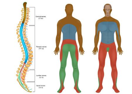 Wykres nerwów rdzeniowych. Rdzeń kręgowy. Obwodowego układu nerwowego. Anatomia kręgosłupa.