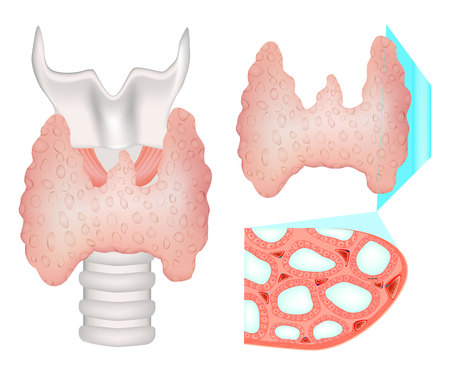Structure of the thyroid gland. Histological structure of Thryoid follicle. Stock Illustratie