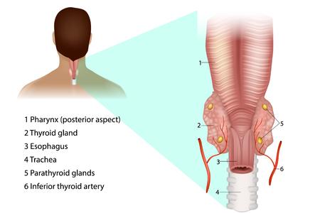Parathyroid glands. Medical illustration of the thyroid and parathyroid glands