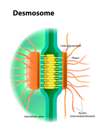 Desmosome structure. Cell junctions