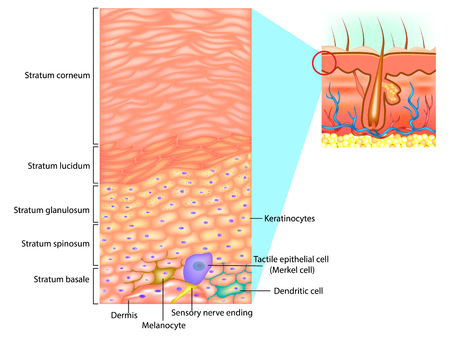 Epidermal cells and layers of the epidermis Stock Illustratie