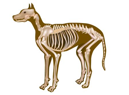 Dog Skeletal Anatomy Poster vector illustration design.