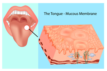 Oral mucous membrane. Structure of the tongue Stock Illustratie