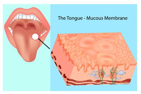 Oral mucous membrane. Structure of the tongue Illusztráció
