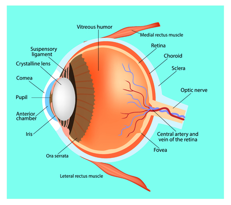 Structure of the eye. Human eye. Cross section through the eye. Educational material Ilustração