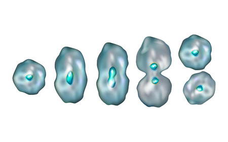 Mitosis. Diagram of the mitotic phases. Illustration showing the five stages of mitosis.
