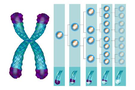 Illustration montrant la position des télomères à l'extrémité de nos chromosomes. Raccourcissement des télomères - à chaque division cellulaire et au cours de différents processus pathologiques. Banque d'images - 103629608