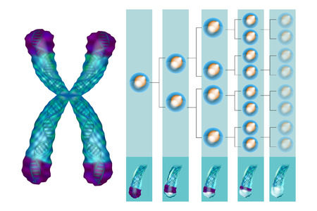 Illustration showing the position of the telomeres at the end of our chromosomes. Telomere shortening - with every cell division and during different pathological processes. Иллюстрация