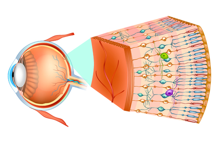 Structure of the human eye and organization of the retina. Optic part of retina. 免版税图像 - 104720007