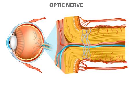Il nervo ottico (nervo cranico II). Anatomia dell'occhio