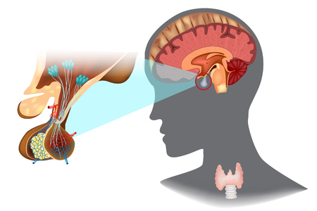 Structure of the hypothalamic-pituitary thyroid axis (HPT)