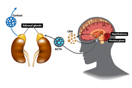 Hypothalamic-pituitary-adrenal (HPA) axis - the stress response system