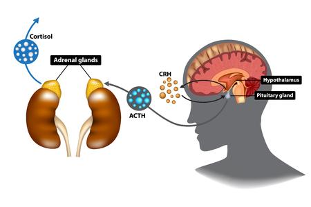 Hypothalamus-Hypophysen-Nebennieren-Achse (HPA) - das Stressreaktionssystem