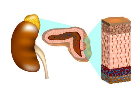 Reins humains avec une coupe transversale de la glande surrénale. Les glandes surrénales (également appelées glandes surrénales). Structure interne de la glande surrénale montrant les couches corticales et la moelle épinière