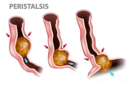 Verdauung und Peristaltik. Infografik der Speiseröhrenfunktion
