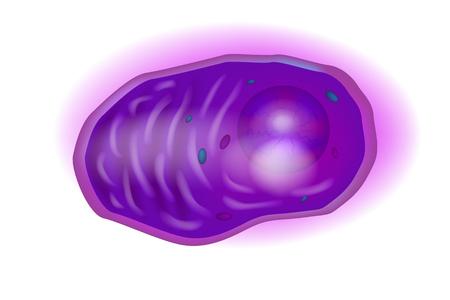 Plasma cells, also called plasma B cells, plasmocytes, plasmacytes, or effector B cells, are white blood cells.