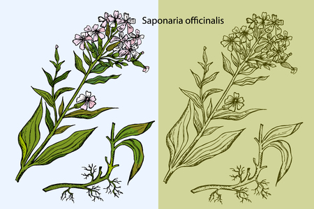Illustration gravée de stéatite commune, Saponaria officinalis, Bouncing Bet ou Sweet William ou Soapwort, isolé sur fond blanc.