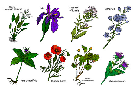 Set of medicinal plants: Iris, Poppy, Paris quadrifloria, Alisma plantago-aquatica, Cloudberry, Soapwort, Cichorium, Silybum. Vector hand drawn collection of medicinal, cosmetics herbs. Ilustracja