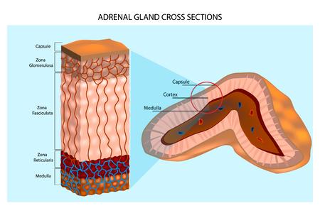 Diagramme des glandes surrénales. Structure interne de la glande surrénale montrant les couches corticales et la moelle épinière