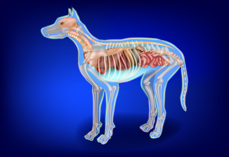 Canine Internal Organs and Skeleton. Dog Anatomy. The Dog's Body Systems
