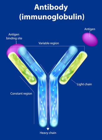 De structuur van het antilichaam (immunoglobuline). Antilichaam bindt aan een specifiek antigeen