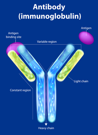 The structure of the antibody (immunoglobulin). Antibody binds to a specific antigen
